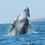 baleine, rorqual au mexique