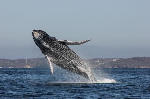 baleine puerto vallarta