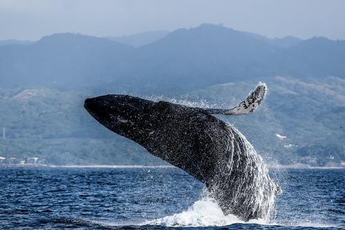 baleines puerto vallarta (3)
