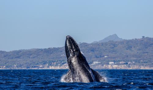 baleines puerto vallarta (4)