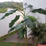 bananier venant d'être planté