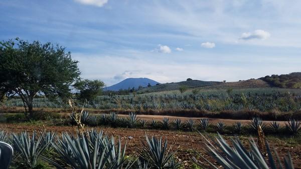 champ d'agave proche de la ville de Tequila